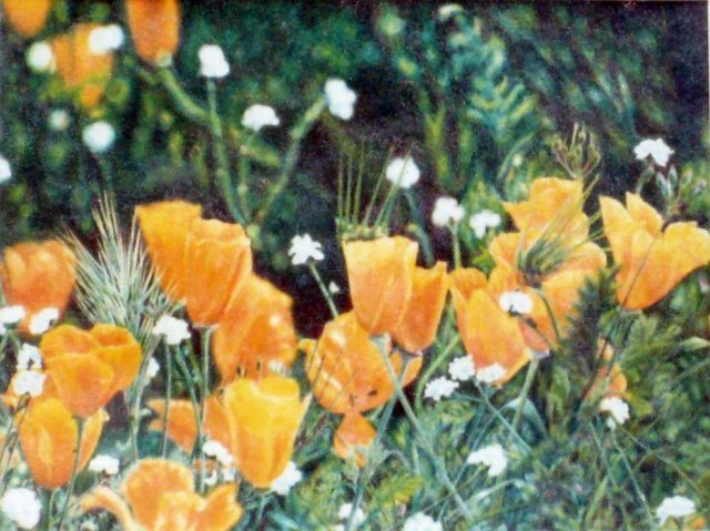 California Poppies - colored pencil