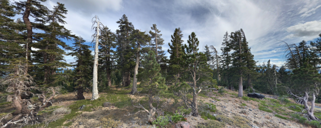 Ancient trees dying near Lake Tahoe, California