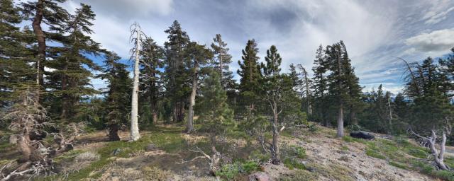 Ancient trees dying near Lake Tahoe, California